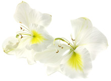 Bauhinia Fleurs Blanches Fond Blanc