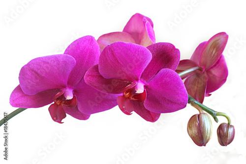 Papiers peints Orchidée Tige orchidée Phalaenopsis violet avec boutons