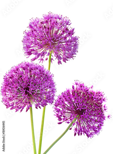 Three Alliums Ornamental Onions Canvas Print