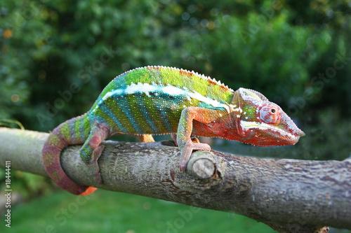 Staande foto Kameleon Pantherchamäleon