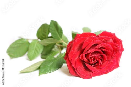 Red rose © Popova Olga