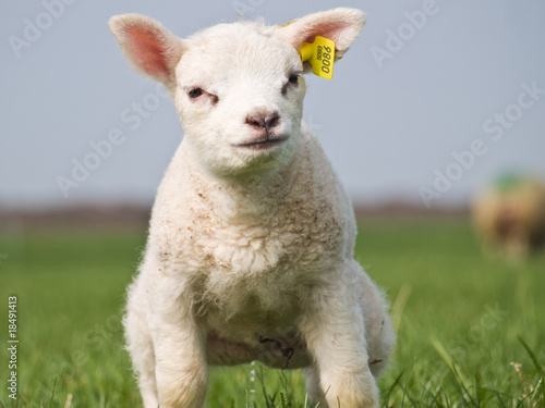 Wall Murals Sheep Lamb