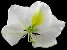 Fleur Blanche Bauhinia Fond Noir