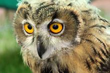 Short Eared Owl Looking Down