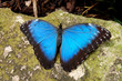 Resting Blue Butterfly
