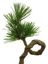 Pinus Thunbergii (Japanese Bla...