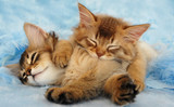 Somalijskie kocięta