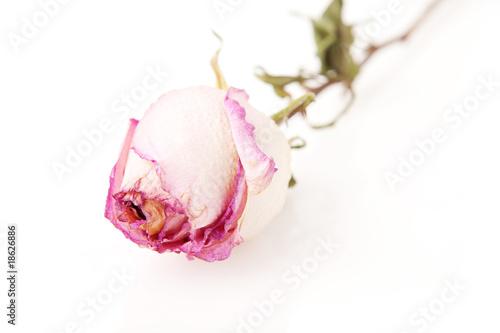 Fototapeta dead rose obraz na płótnie