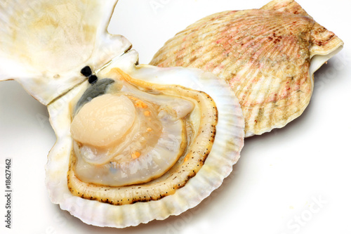 Poster Coquillage scallop