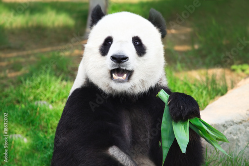 La pose en embrasure Panda Giant panda