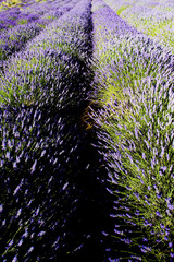 Panel Szklany Podświetlane Lawenda lavender field, Plateau de Valensole, Provence, France