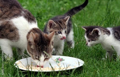 Fotografie, Obraz  Katzenfamilie
