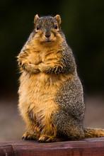 Curious Wet Fox Squirrel