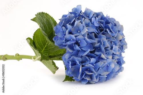 Laying down a blue hydrangea