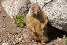 Yellow-bellied Marmot In Tuolumne Meadows, Yosemite