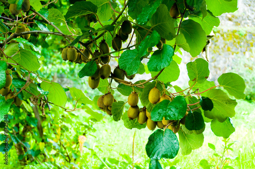 Photo Big cluster of kiwi fruit on the tree
