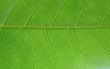 Leaf Ficus virens