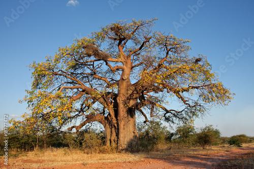 Keuken foto achterwand Baobab African baobab tree (Adansonia digitata), southern Africa
