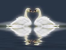 Swan Heart Montage