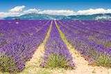 lavender field, Plateau de Valensole, Provence, France - 18822416
