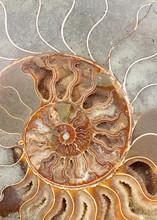 Coupe Ammonite Fossilisée