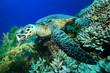 Hawksbill Turtle feeding on a coral reef