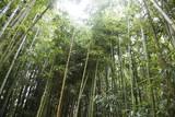 Las bambusów