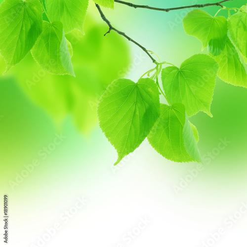Fototapeta liście   zielone-liscie