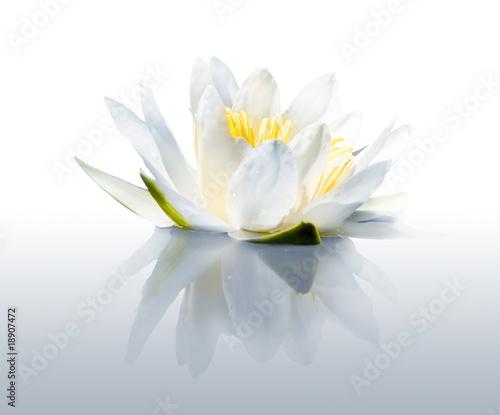Foto op Canvas Lotusbloem Water lily