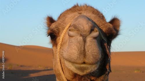 Keuken foto achterwand Kameel chameau