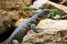 Sungazer (Cordylus Giganteus)