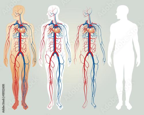 Fototapeta Heart and circulatory system obraz
