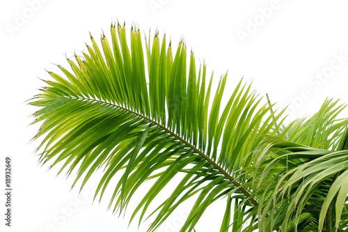 Poster Palmier Feuille de palmier