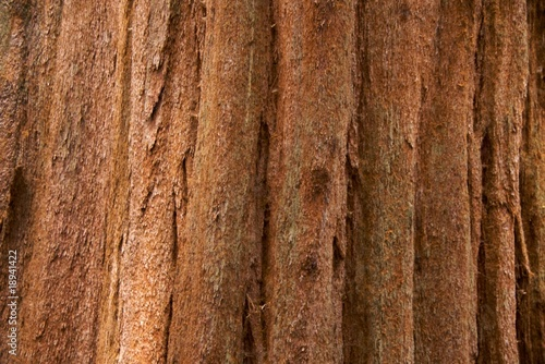 Fotografie, Obraz  Close-up of the bark of a sequoia tree in Sequoia National Park