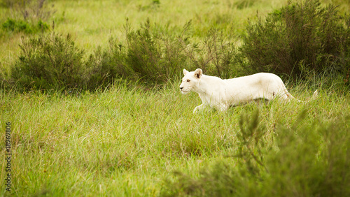Fotografie, Obraz  white lion in savanna