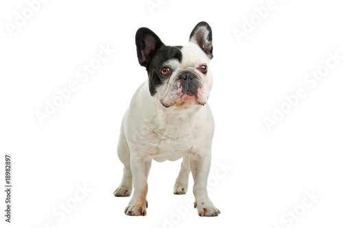La pose en embrasure Bouledogue français French Bulldog isolated on a white background