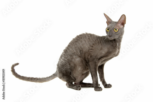 cornish rex cat isolated on white Canvas Print