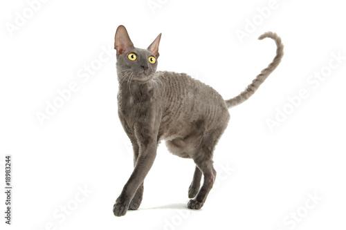 cornish rex cat isolated on white Fototapete