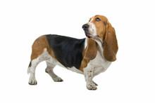 English Basset Dog (hound) Isolated On White