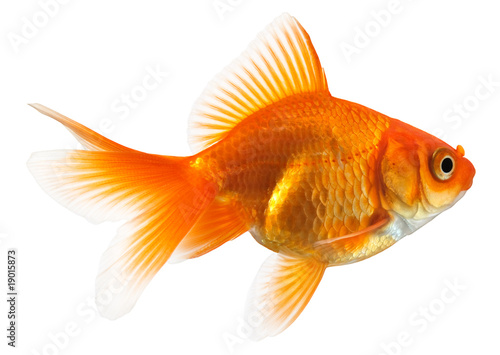 Fotografie, Tablou profile of goldfish