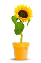Une Fleur De Tournesol En Pot ...