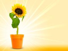 Tournesol En Fleur Sur Un Fond Jaune Avec Les Rayons Du Soleil