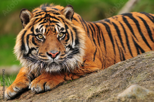 In de dag Tijger Sumatran tiger