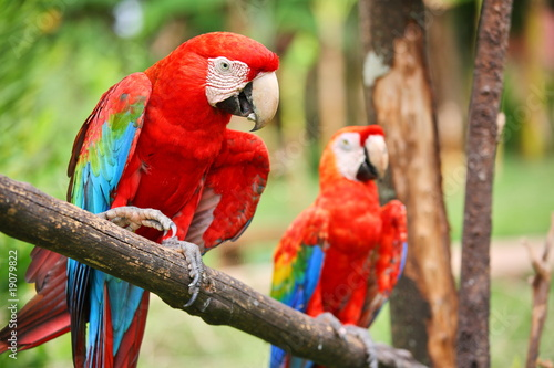 Fotoposter Papegaai Parrots: scarlet macaw (ara macao)