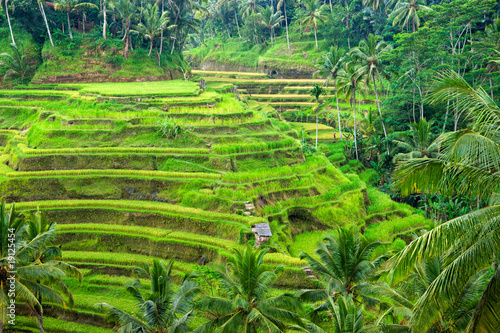 Photo Stands Bali Amazing rice terrace field, Ubud, Bali,, Indonesia.