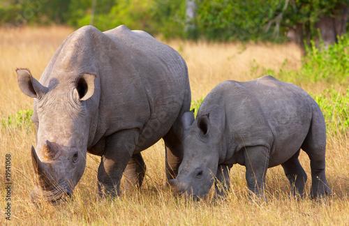 Spoed Foto op Canvas Neushoorn Large white rhinoceros with calf