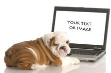 English Bulldog Puppy Working On Computer