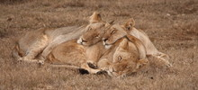 Young Lion And Two Lionesses S...