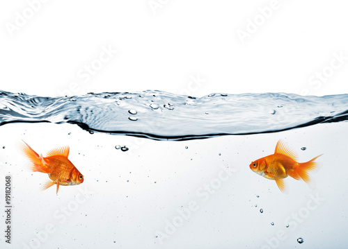 Photo two goldfish in water