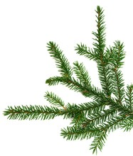 Picea Mariana On White Background